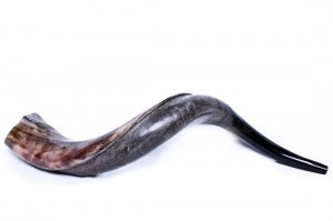 large-yemenite-shofar-horn-275-31-inch