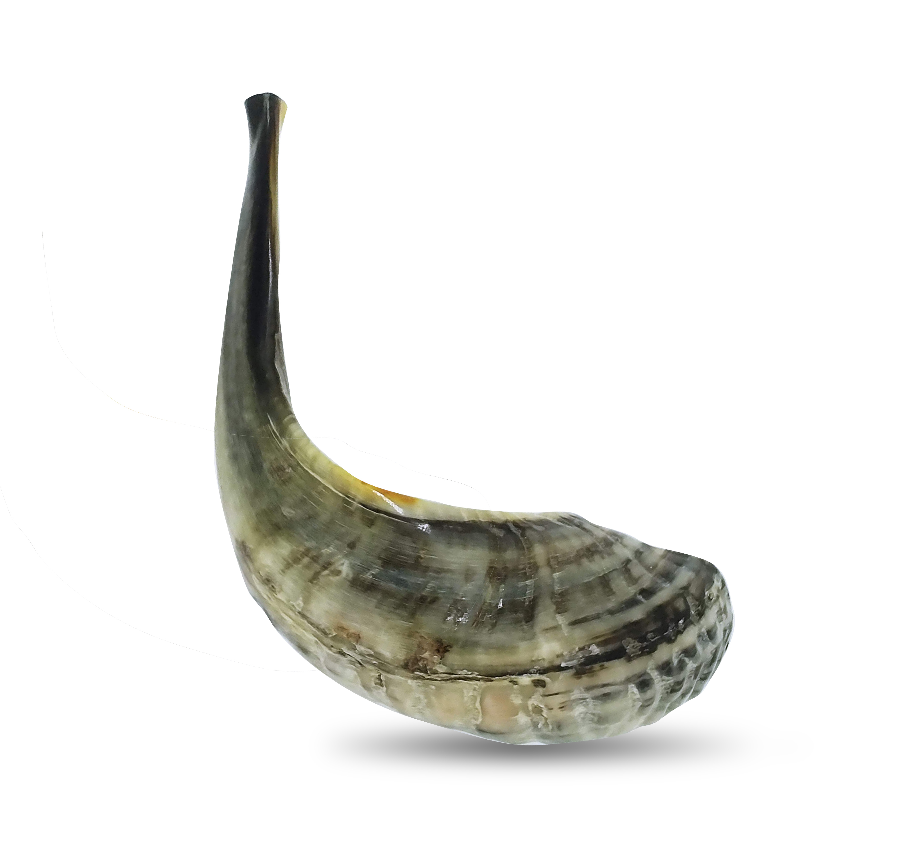 9+ Rams Horn