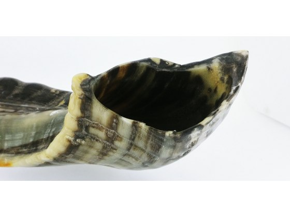 Medium Ram's Horn Shofar (15-16 inch) Grey