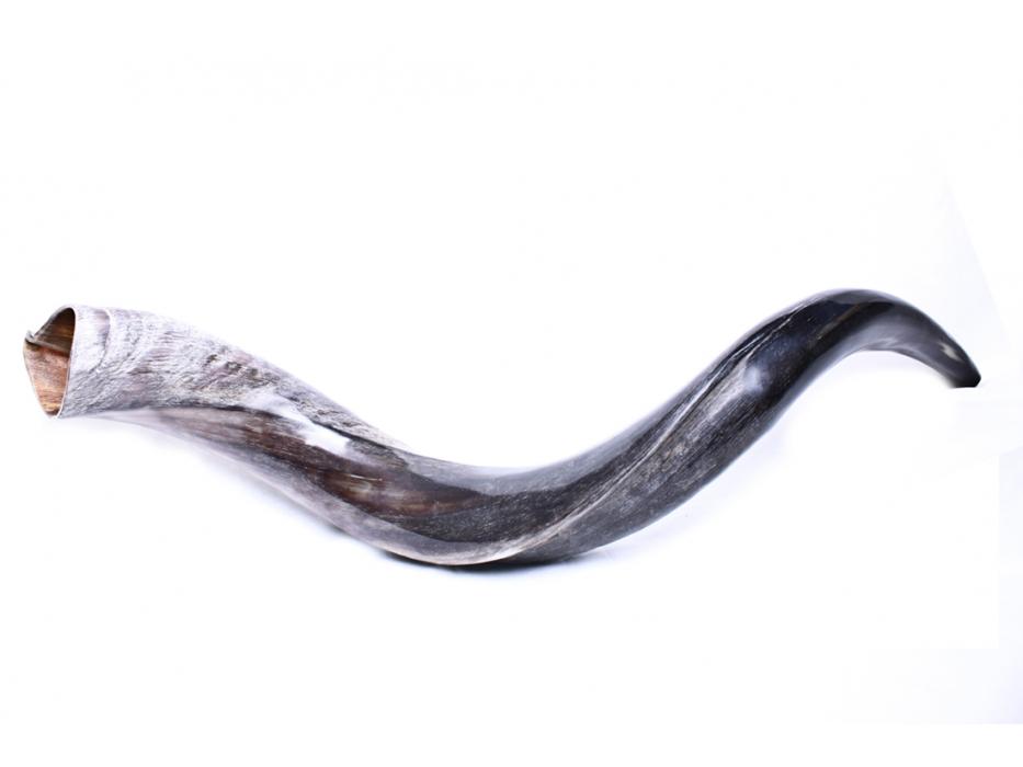 Medium Yemenite Shofar Horn (24-27 Inch) - Polished