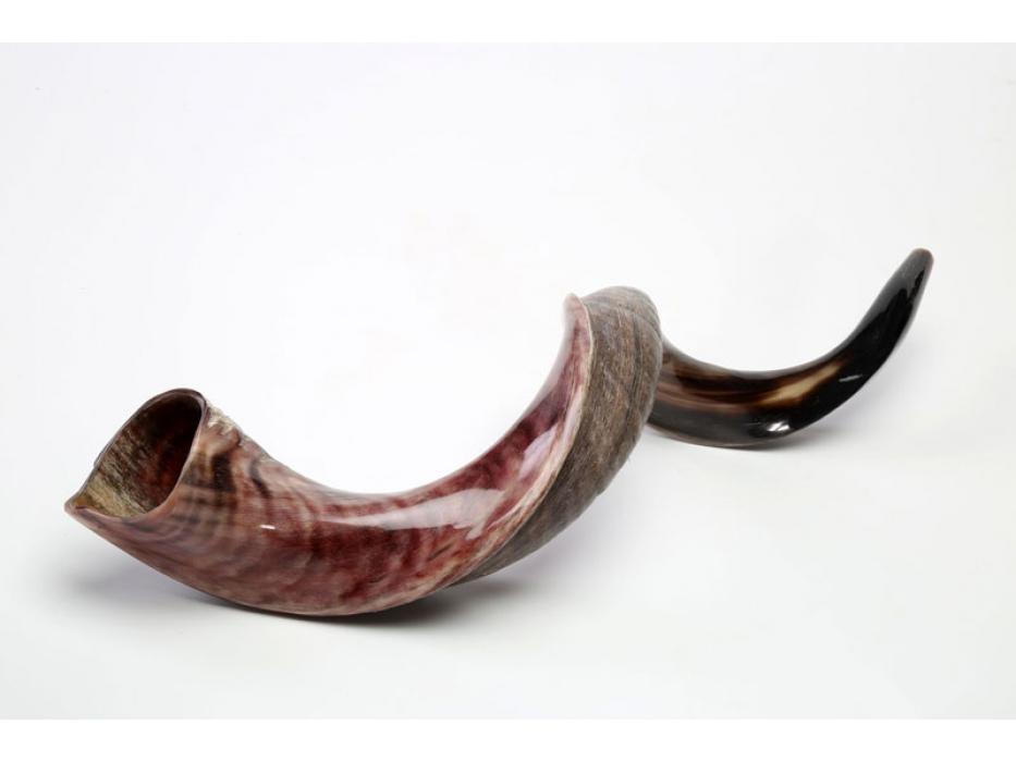 XLarge Yemenite Shofar Horn (31.5-35 inch)