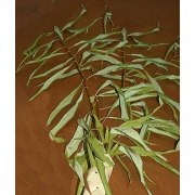 Extra Aravot [Willow Branches]  for Hoshana Raba- 2 pack