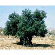 Plant 18 (chai)  Trees of Life